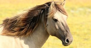 Schermaschine Pferd